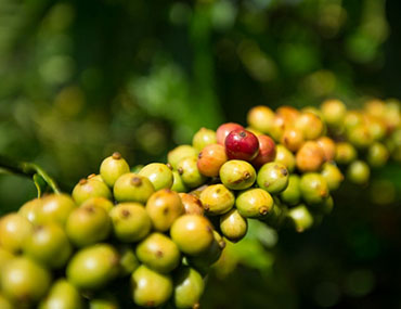 lak's coffee organic coffee cà phê sạch, cà phê nguyên chất Phải uống cafe sạch mới nhận ra được những điều thần kỳ này